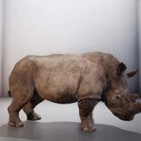 rhino-reszied