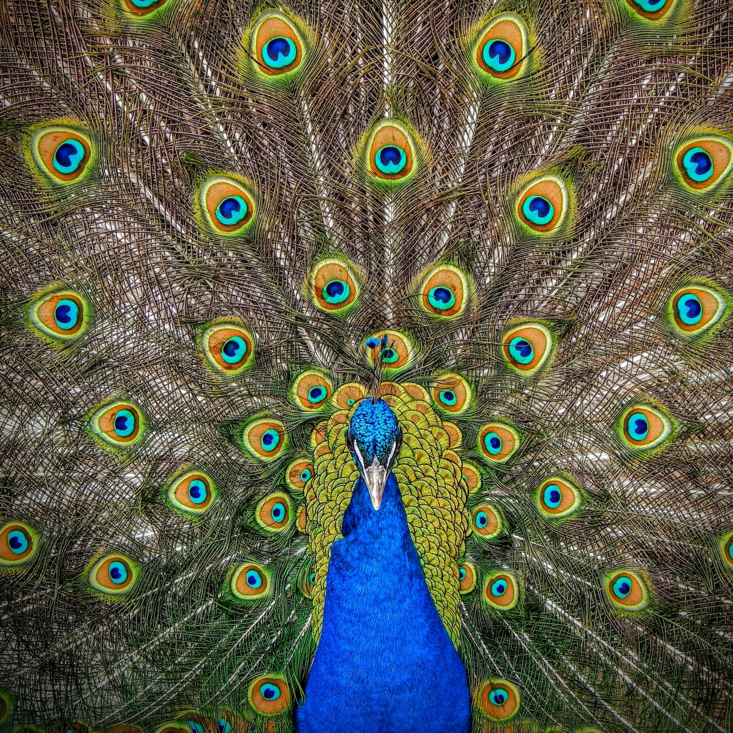beautiful peacock shows off his feathers